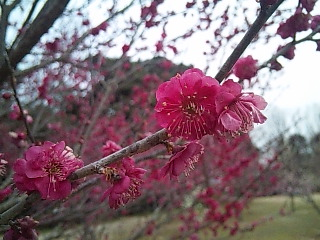 梅がきれいな公園